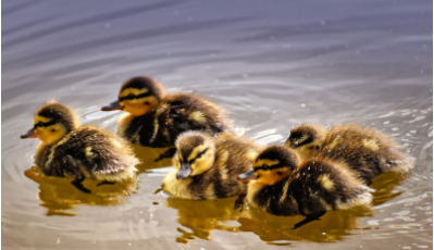 Five ducklings swimming in a diamond formation