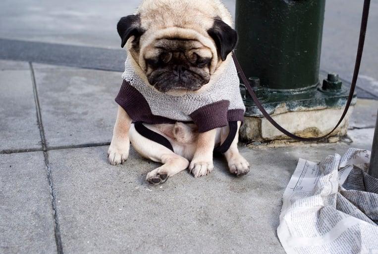 Sad pug image